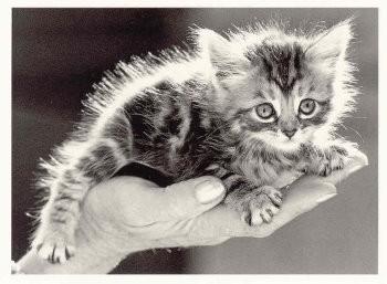 Postkarte s/w Kitten auf der Hand