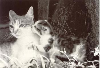 Postkarte s/w Katzenliebe